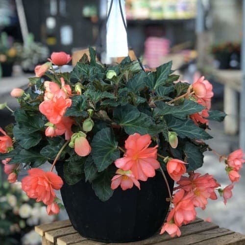 "13"" Hanging Baskets 