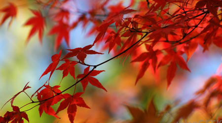 Japanese Maple Grows Well in the Brockville Area