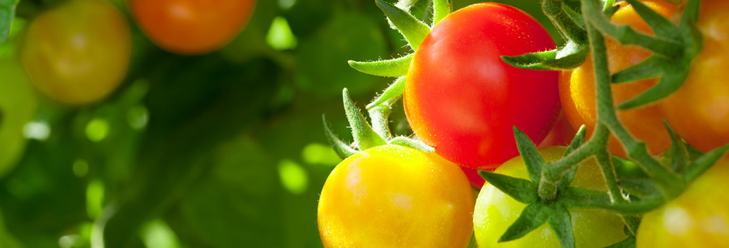 Bush vs vine tomatoes, which one is best for your needs?