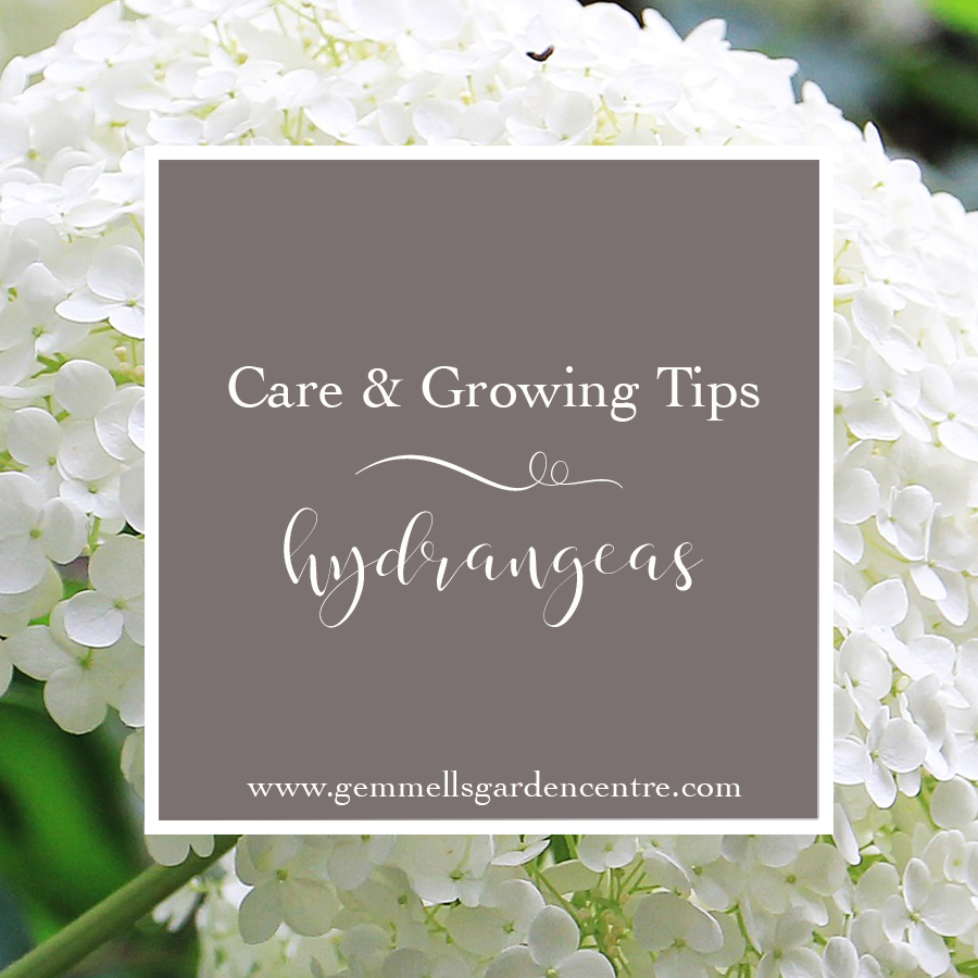How to Care for your Hydrangeas | Ottawa Garden Centre Blog | Gemmell's