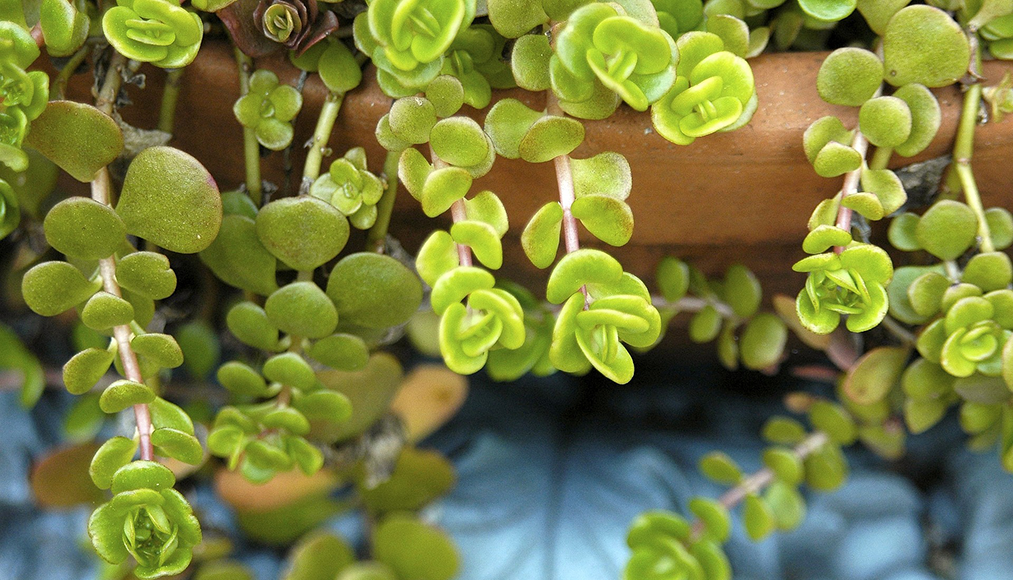 Caring for succulents | Gemmells Garden Centre