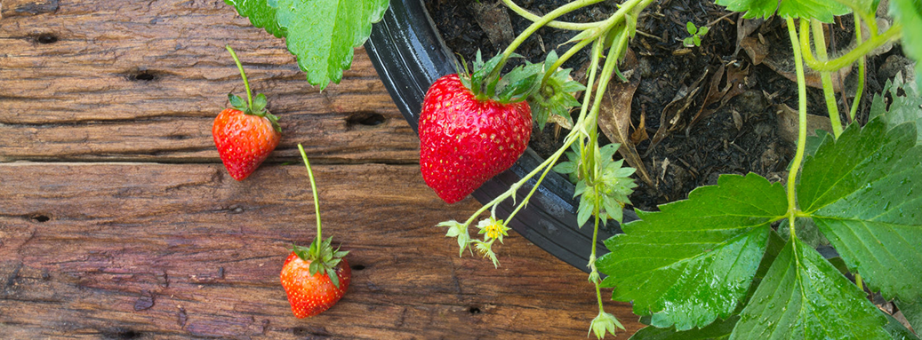 Edible Gardening Tips for Homegrown Fresh Fruits, Vegetables & Herbs
