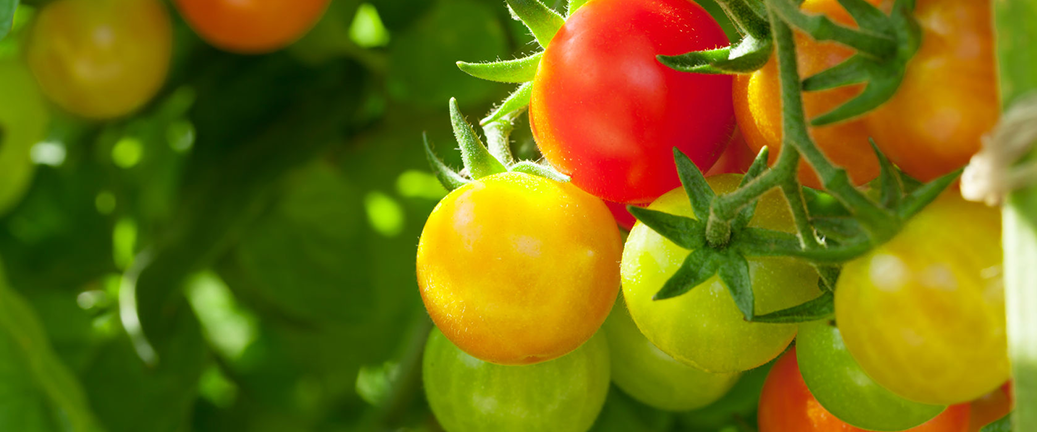 Tips for growing and caring for your tomato plants. With a little love and attention, you will be enjoying fresh tomatoes from your garden in no time!
