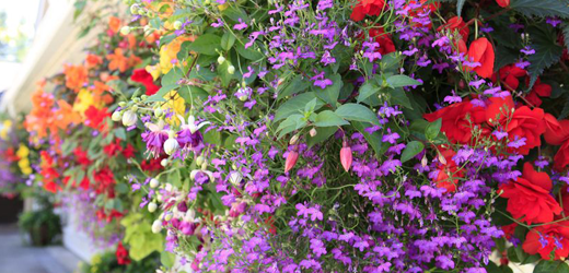 Hanging Baskets & Planters, Smiths Falls Garden Centre