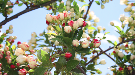Crab Apple Tree | Smiths Falls | Gemmell's Garden Centre