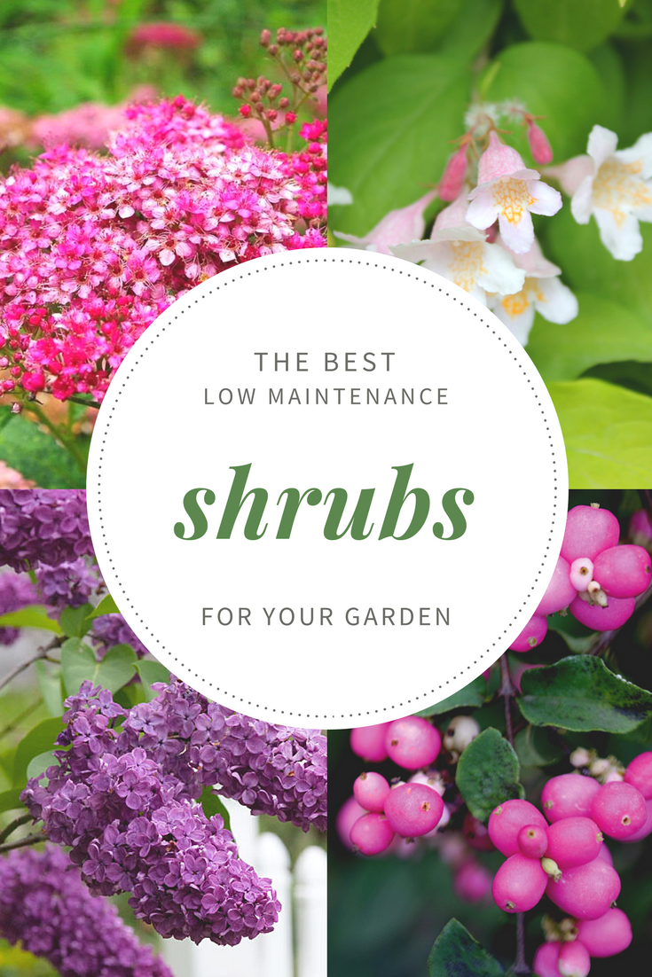 Top 10 Best Low Maintenance Shrubs for your Garden