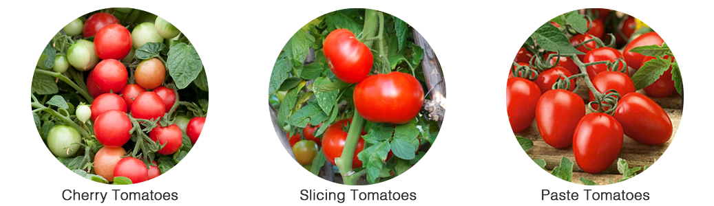 The three main tomato varieties: cherry tomatoes, slicing tomatoes & paste tomatoes.