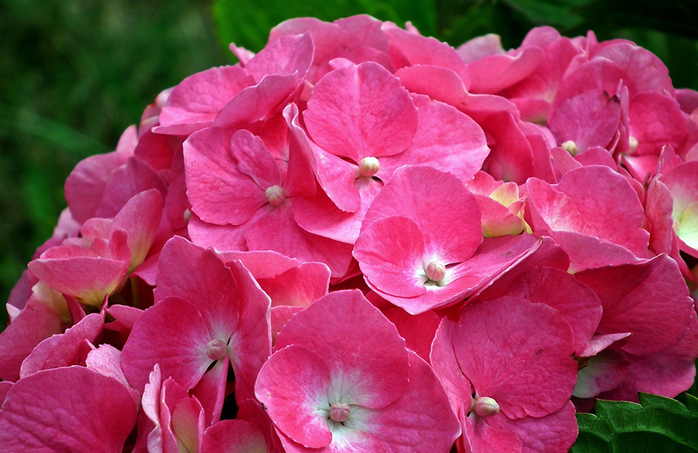 How to Plant Hydrangeas | Ottawa Garden Centre Blog | Gemmell's
