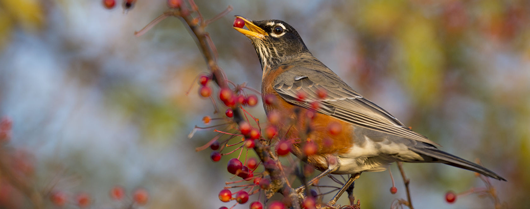 How to encourage more birds around your garden by providing a variety of trees and shrubs, particularly those that provide food in the form of fruit, seeds, berries, nuts or flowers.